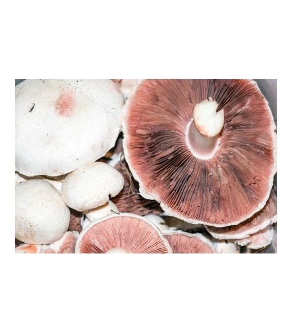 Agaricus Blazei Murill – 40 % polysacharidov, 90 kps x 500 mg, Superionherbs